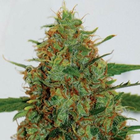 Jamaica Sativa фото