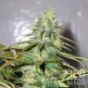 семена конопли Auto Amnesia Haze фото