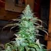семена конопли Blue Cheese фото