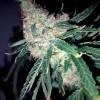 семена конопли Caliber 7-62 фото