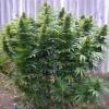 семена конопли Chill Om фото