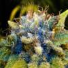 семена марихуаны Auto Mazar